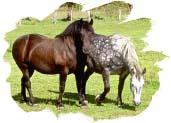 两匹马。照片版权所有。