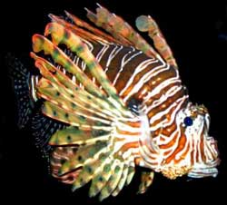 /creation/aqoo/lionfish.jpg