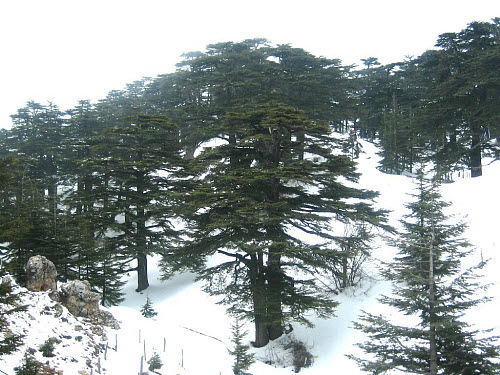 Modern cedar forest in Lebanon