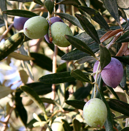 Olives growing in Jordan