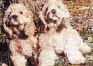 Cocker Spaniels. Illustration copyrighted.
