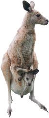 Kangaroo with baby in pouch. Photo copyrighted. All rights reserved.