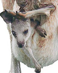 Kangaroo baby in pouch. Photo copyrighted. All rights reserved.