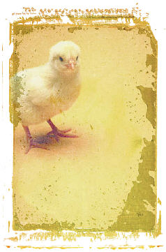 Baby Chick. Illustration copyrighted.