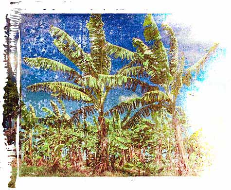 Banana Trees. Illustration copyrighted.
