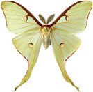 Actias Luna (photo copyrighted)