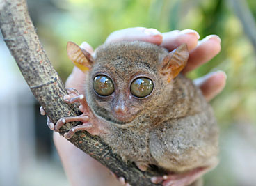 Copyrighted photograph of tarsier.