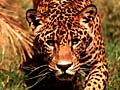 Jaguar. Photo copyrighted.