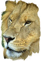 Lion face (photo copyrighted)