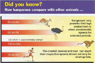 Comparison of speeds of kangaroos, other animals and humans. Illustration copyrighted, Answers in Genesis.