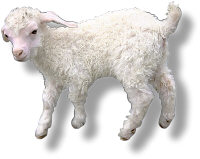 Lamb. Illustration copyrighted.