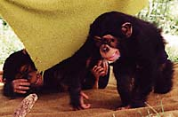 Baby chimpanzees (photo copyrighted, Courtesy of Films for Christ)