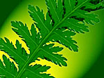Fern frond. Copyrighted.