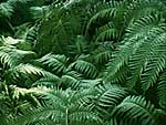 Ferns. Photo copyrighted, Films for Christ.