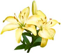 Asian lily. Photo copyrighted