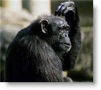 Chimpanzee. Photo copyrighted.